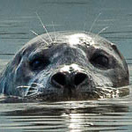 Trites-harborseal-news-2
