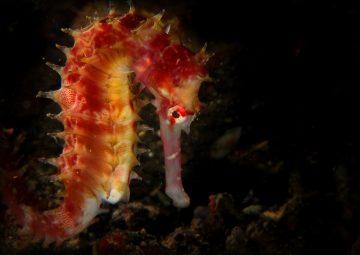 Hippocampus histrix Photo: Rudi Rombouts/Guylian Seahorses of the World