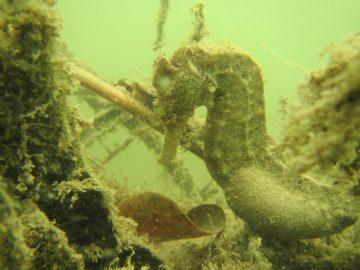 Hippocampus kuda. Photo: Lindsay Aylesworth/Project Seahorse